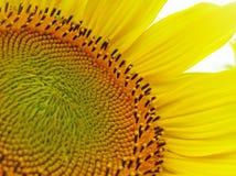 Een zonnebloem bloeit. royalty-vrije stock foto