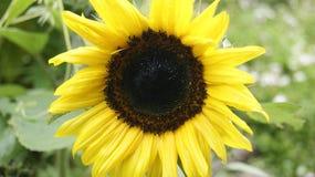 Een zonnebloem is een boodschapper van de zon stock afbeeldingen
