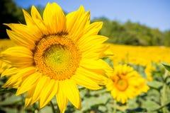 Een zonnebloem op een gebied van zonnebloemen in backgro royalty-vrije stock foto's