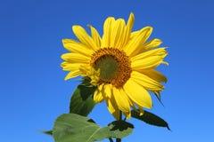 Een zonnebloem tegen een wolkenloze blauwe hemel stock foto's