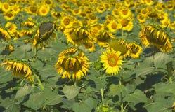 EEN zonnebloemen in de tuin Stock Afbeelding