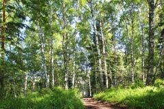 Een Zonnige dag in het berkbos in de zomer royalty-vrije stock afbeelding