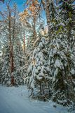 Een Zonnige dag in het Kerstmisbos stock afbeeldingen