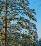 Een Zonnige dag in het Kerstmisbos royalty-vrije stock foto's
