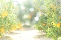 Een zonnige vage achtergrond van een oranje boomgaard Royalty-vrije Stock Foto