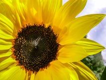 Een zonnige zonnebloem Stock Foto