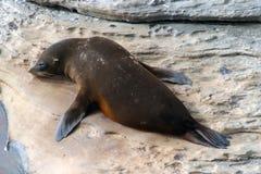 Een zoogdier vrouwelijke zeeleeuw die op de rotsen in Kangoeroeeiland drogen Stock Foto