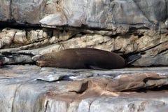 Een zoogdierzeeleeuw die op de rotsen in Kangoeroeeiland drogen Stock Foto