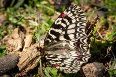 Een Zuidelijke Slingervlinder die ter plaatse rusten stock foto's