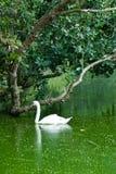 Een zwaan Stock Afbeeldingen