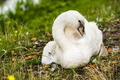 Een zwaan bij de kust Stock Afbeeldingen