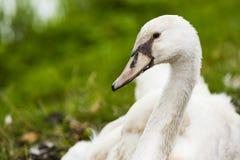 Een zwaan bij de kust Stock Foto's