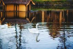 Een zwaan die bij de rivier drijven Royalty-vrije Stock Foto's