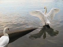 Een zwaan die het uitspreiden de vleugels van ` s Royalty-vrije Stock Fotografie