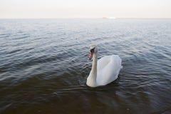 Een zwaan die op het water zwemmen Stock Afbeeldingen