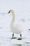 Een zwaan die zich in sneeuw bevinden Stock Fotografie