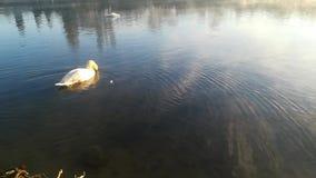 Een zwaan op de oppervlakte van het water stock video