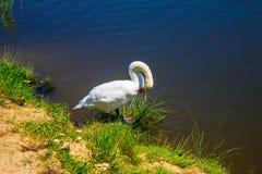 Een zwaan op de rivierbank Achtergrond Stock Foto