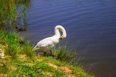 Een zwaan op de rivierbank Achtergrond Stock Afbeelding