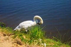 Een zwaan op de rivierbank Achtergrond Royalty-vrije Stock Afbeelding