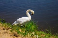 Een zwaan op de rivierbank Achtergrond Stock Afbeeldingen
