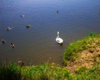 Een zwaan op het meer in een troep van eenden Achtergrond Stock Afbeeldingen