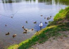 Een zwaan op het meer in een troep van eenden Achtergrond Royalty-vrije Stock Foto's