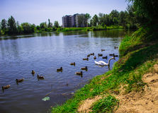 Een zwaan op het meer in een troep van eenden Achtergrond Stock Fotografie