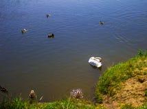 Een zwaan op het meer in een troep van eenden Achtergrond Stock Foto