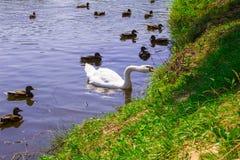 Een zwaan op het meer in een troep van eenden Achtergrond Royalty-vrije Stock Afbeeldingen