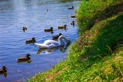 Een zwaan op het meer in een troep van eenden Achtergrond Stock Foto's
