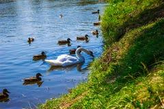 Een zwaan op het meer in een troep van eenden Achtergrond Royalty-vrije Stock Foto