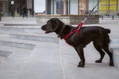Een zwart spaniel in een rode uitrusting bevindt zich in het park op de treden stock foto