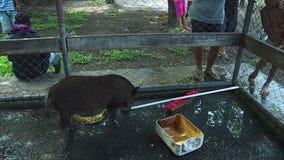 Een zwart varken in de kooi stock videobeelden
