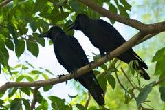 Een zwart vogelpaar, die met elkaar, hoog omhoog in een mooie groene boom debatteren stock afbeelding