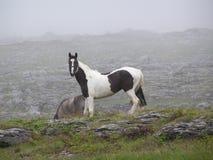 Een zwart-wit (gevlekt) paard op een nevelige Ierse berg. Royalty-vrije Stock Afbeeldingen