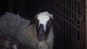Een zwart-wit schaap bevindt zich in een pen stock videobeelden
