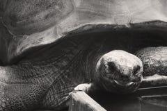Een zwart-witte Aldabra-schildpad die in een dierentuin eten Royalty-vrije Stock Afbeeldingen
