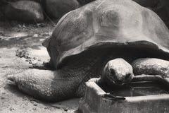 Een zwart-witte Aldabra-schildpad die in een dierentuin eten Stock Foto