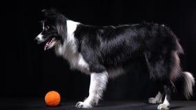 Een zwart-witte hond ligt dichtbij de bal op bevel stock video