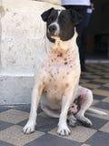 Een zwart-witte hondzitting op vloer zoals koning royalty-vrije stock fotografie