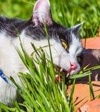 Een zwart-witte kat met gele ogen en witte scherpe tanden eet groen gras Royalty-vrije Stock Afbeeldingen