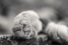Een zwart-witte witte kattenpoot op het beton Dichte omhooggaand van Cat Paw stock afbeeldingen