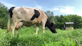 Een zwart-witte koe met een bochtige hoorn die in een weiland rusten stock videobeelden