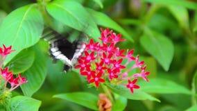 Een Zwart-witte vlinder van Helen op rode Ixora stock videobeelden