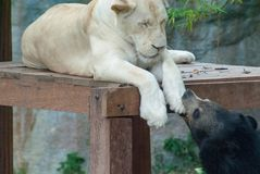 Een zwarte draagt speels bijt de poot van een witte vrouwelijke leeuw die op een houten dek dut stock foto's