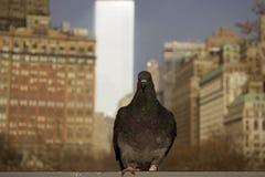 Een zwarte duiftribune met de bouwachtergrond van New York Royalty-vrije Stock Afbeeldingen