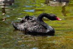 Een zwarte gans die in een vijver zwemmen Stock Foto