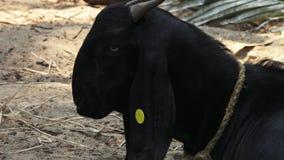 Een zwarte geit die op het hooi smakken stock footage