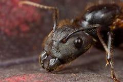 Een zwarte gevleugelde mier Stock Foto